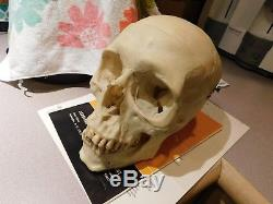 Real Human Skull Medical/ Dental Teaching/Training