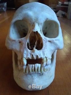 Real Human Skull Medical/ Dental Teaching/Training